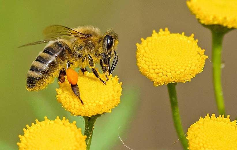 کشف ژنی که زنبورهای عسل را در برابر بیماریها مقاوم میکند